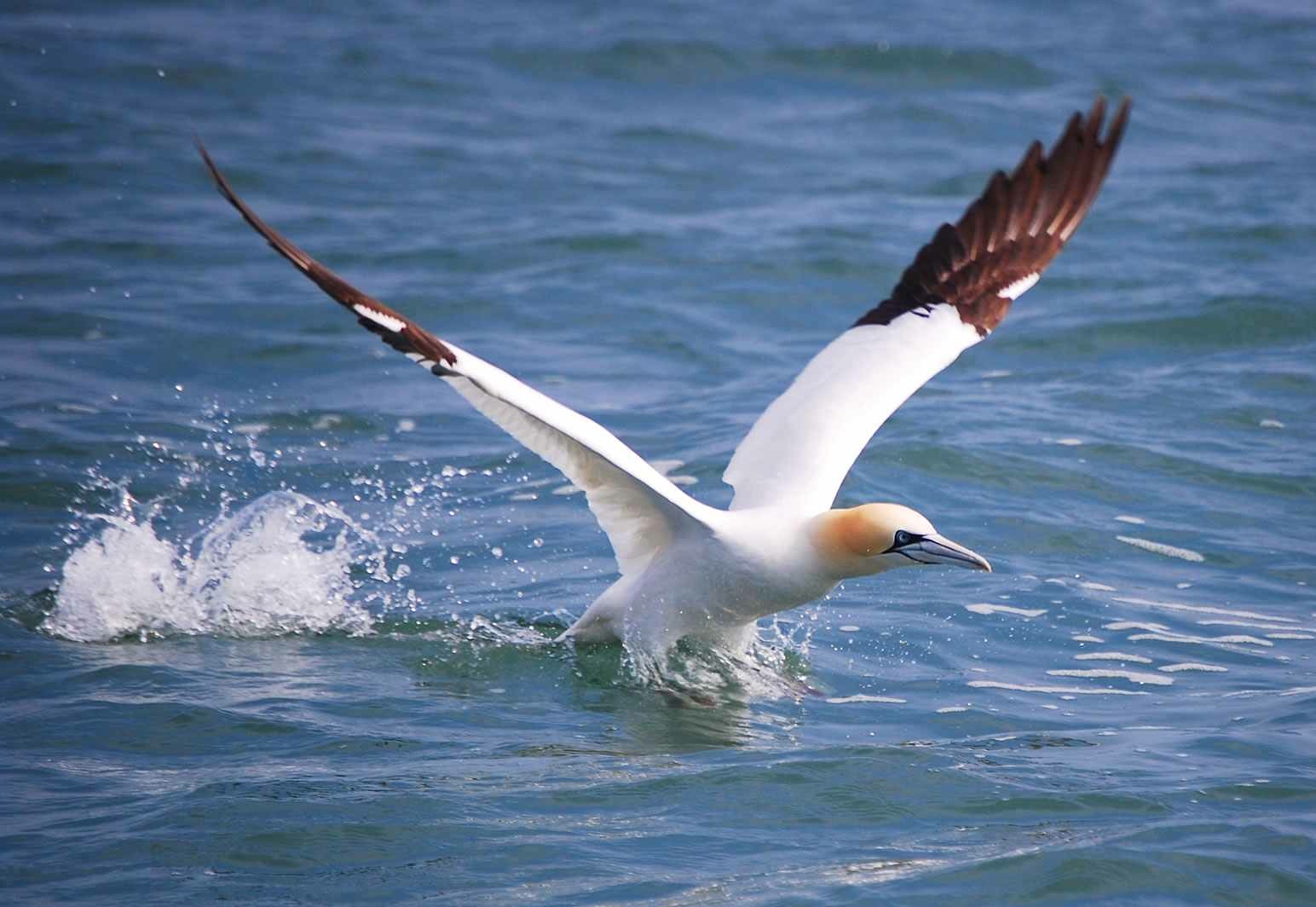 a gannet takes off from the surface of the water